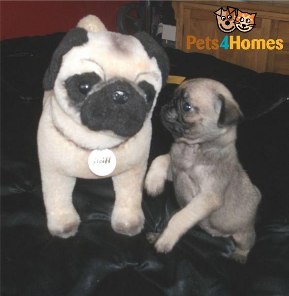 Tiny Teacup Silver Fawn Pug Puppy Girl Fawn Pug Pugs Cute Pugs