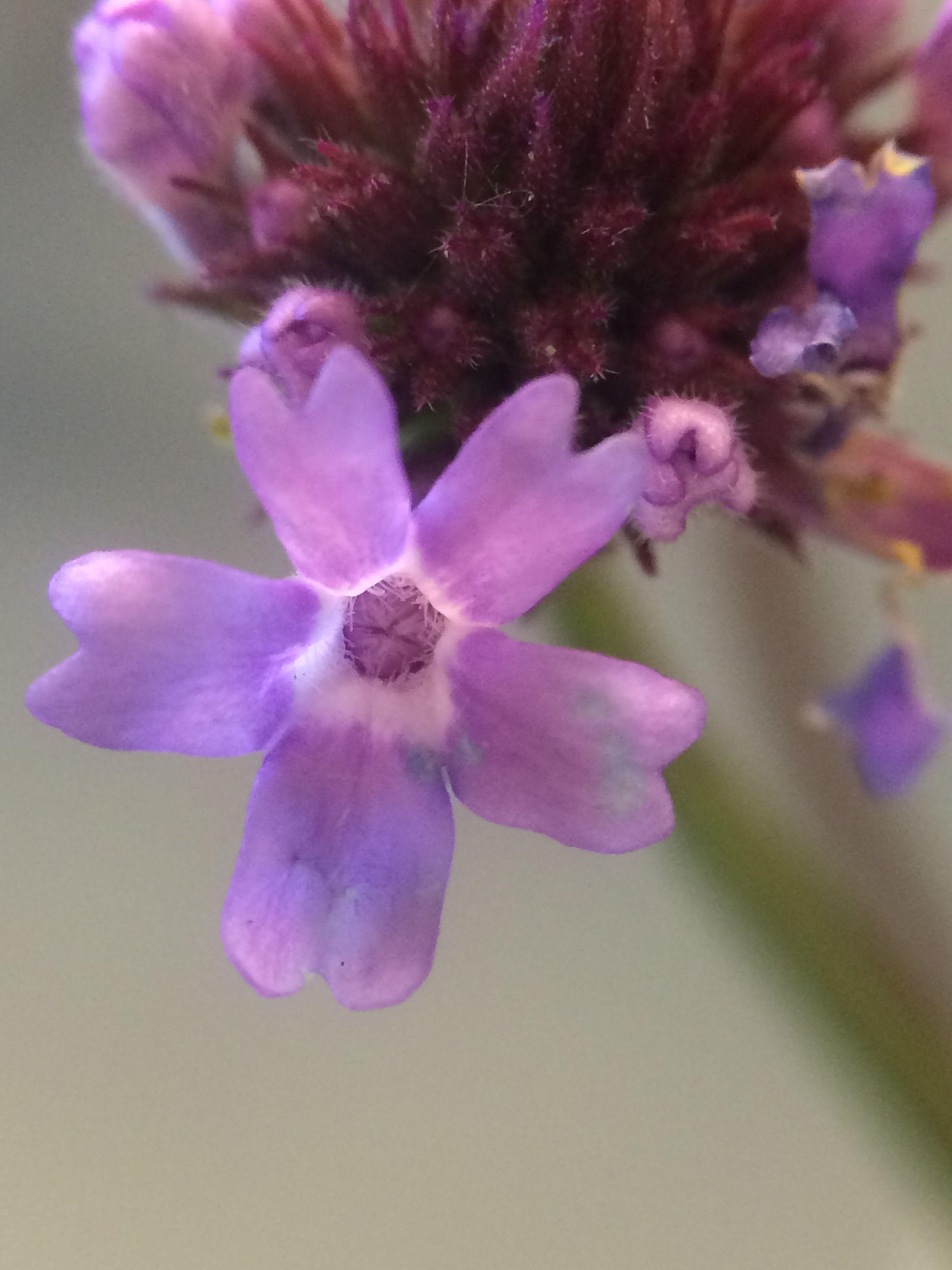 Verbeniaceae