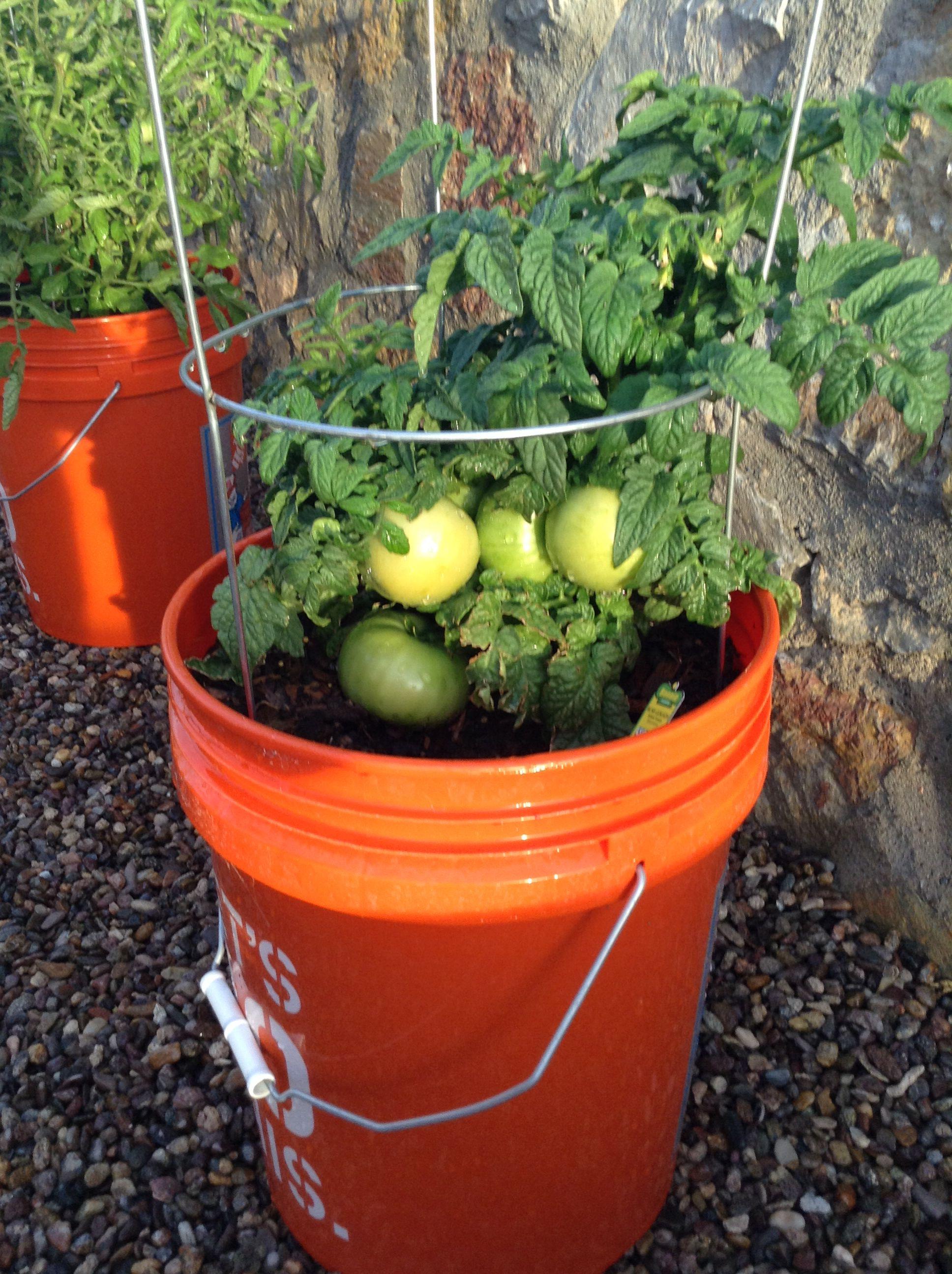 Bushmaster Tomatoes 20May Container Gardening Garden 400 x 300