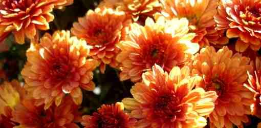 Orange Chrysanthemums. Great for fall decorations!
