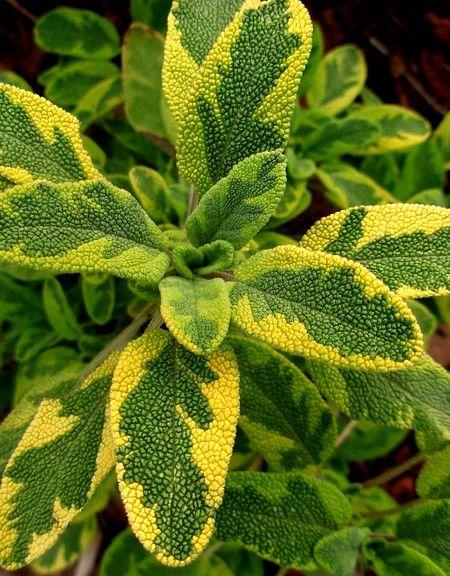Sage Bicolor Icterina Salvia Officinalis Blomsterbede