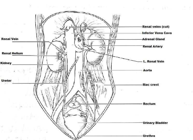 Renal anatomy and physiology worksheet answers