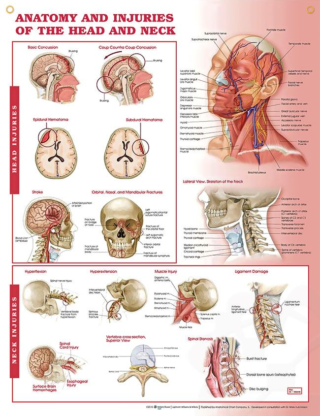 Anatomy and Injuries of Head and Neck 20x26 | Cranial nerves ...