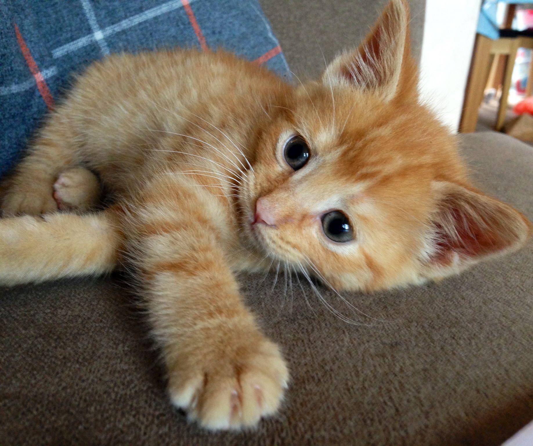 Obi Wan Katnobi Ginger Kitten Cute Kittens Cutest Cute Cats Baby Cats