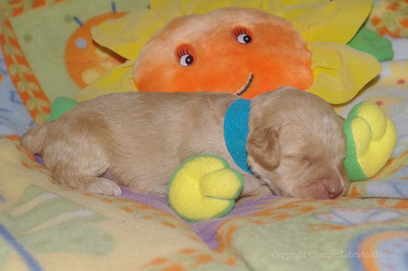 Sunshine smiling on 2 week old Labradoodle Puppy!
