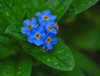 forget me nots~taken on my farm after a gentle rain