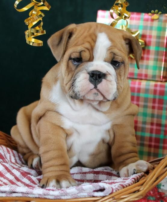 Karen English Bulldog Puppy For Sale In New Holland Pa