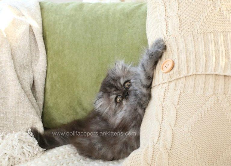 Hocus Pocus Black Smoke Male Doll Face Persian Kitten