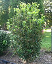 Buy Fragrant Tea Olive Osmanthus Fragrans Olive Trees
