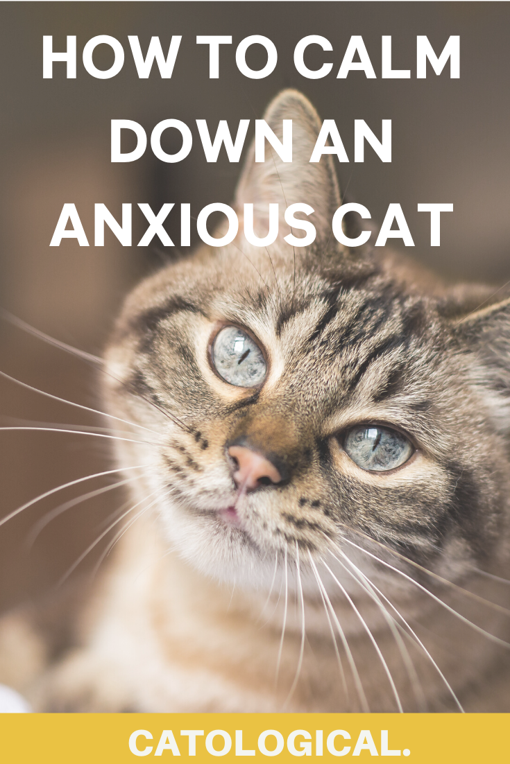 How To Calm Down Your Cat When It S Angry Scared Or Agitated In 2020 Kitten Care Cat Parenting Anxious Cat
