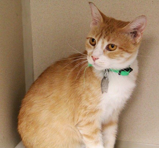 Pet Of The Week Jennaya An American Shorthair Cat American Shorthair Cat American Shorthair Cats