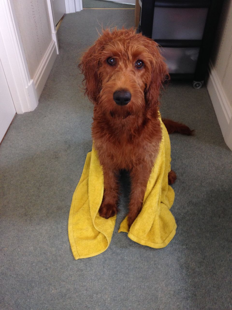 Fox Red Miniature Labradoodle For Adoption Labradoodle Red