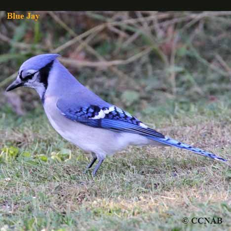 14 Amazing Blue Colored Birds In The World Birds Birds Blue Jay
