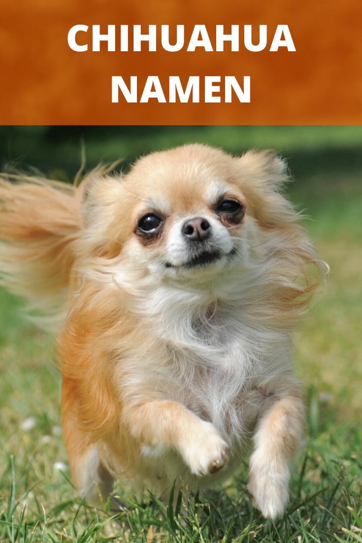 Chihuahua Namen Susse Namen Fur Madchen Schone Namen Fur Rude In 2020 Chihuahua Namen Hundenamen Chihuahua