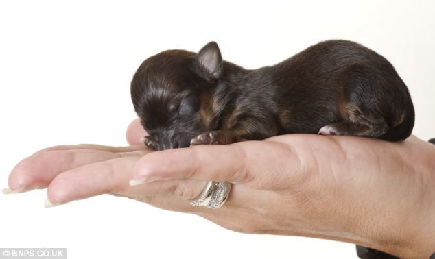 The Pocket Sized Puppy Britain S Smallest Dog Mini Born Weighing