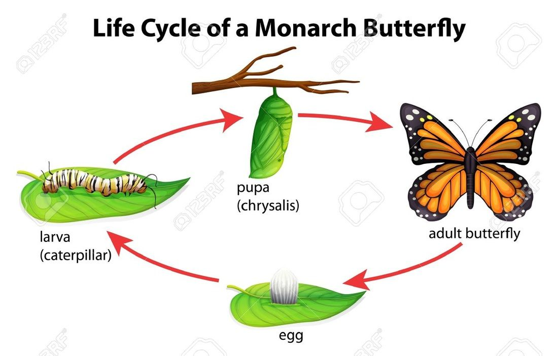 Butterfly Life Cycle Let S Learn Life Cycles Butterfly Life