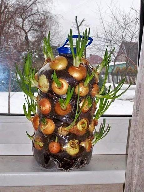 Cultivar el Huerto Casero Cultivar cebollas dentro de casa