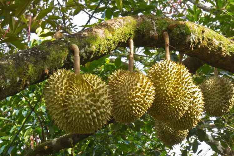 Durian tree | Trees and fruit trees in 2019 | Durian tree