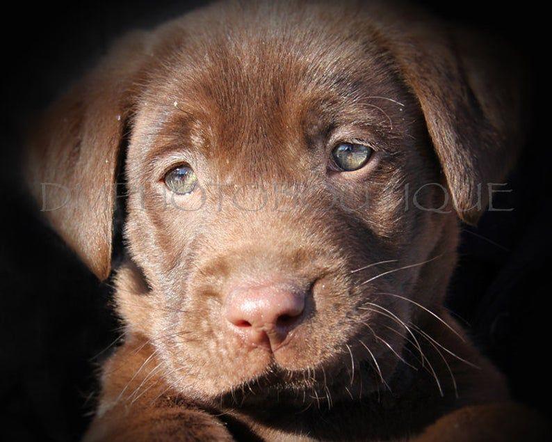 Lab Puppy Print Labrador Retriever Puppy Print Lab Print