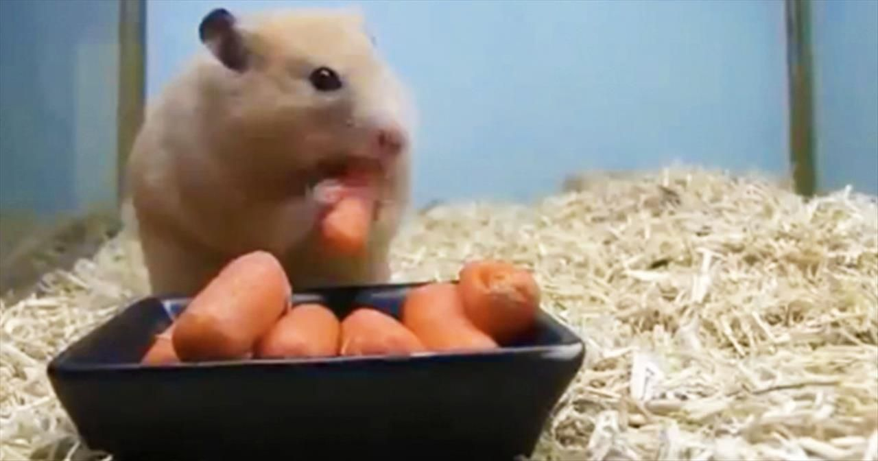 How Fast Can 1 Tiny Hamster Eat 5 Carrots