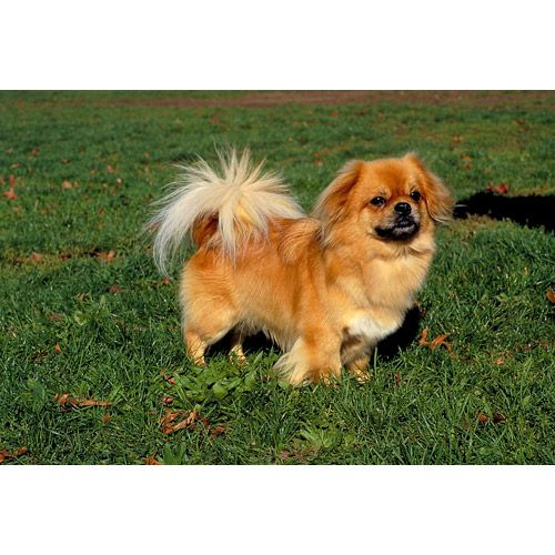 This Looks Just Like Our Little Tibetan Spaniel Stray Ginger Showed Up In Our Front Yard Over A Year Ago We Never Tibetan Spaniel Dog Breeds Spaniel Breeds