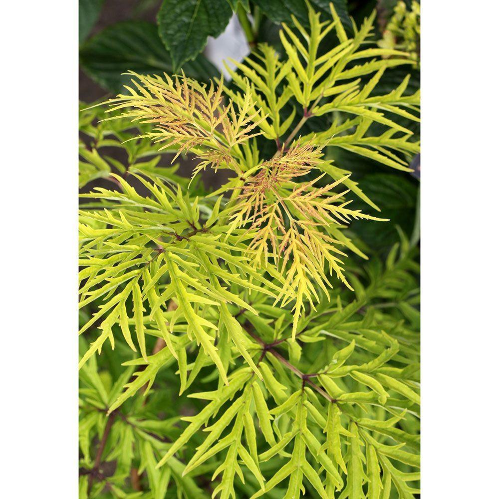 Sambucus racemosa Lemony Lace®   Yard ideas, Shrub and Planting