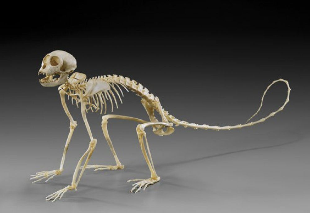 Image result for spider monkey skeleton | Puppetry | Pinterest ...