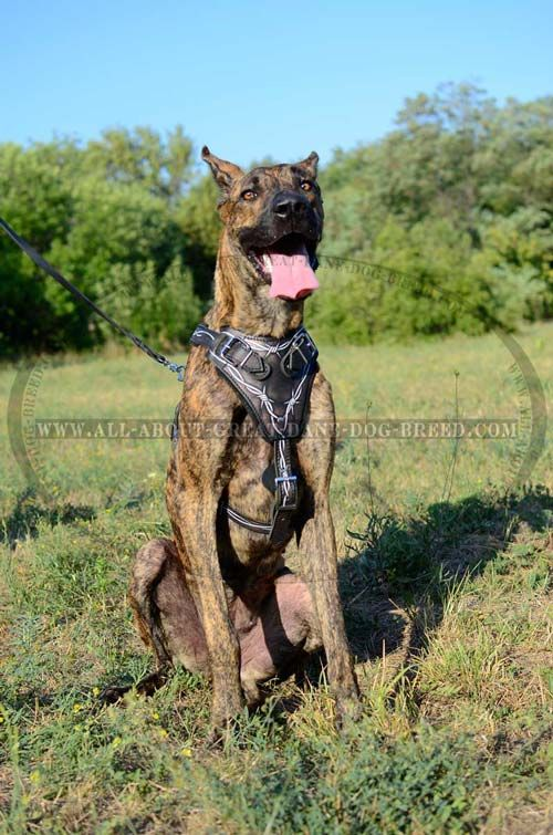 H1bw 1094 Painted Leather Harness Barbed Wire Great Dane Dogs