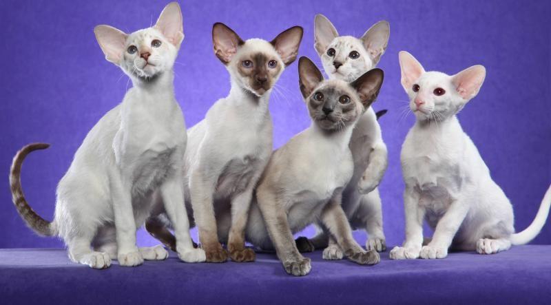 Five Kittens Taken By Helmi 2010 29603049 Std Jpg 800 443 Oriental Shorthair Cats Oriental Cat Oriental Shorthair