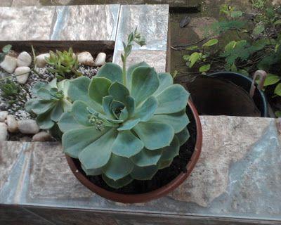 planta suculenta echeveria ou rosa de pedra