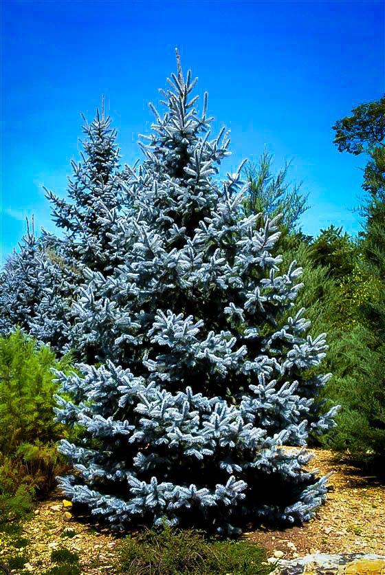Hoopsii Blue Spruce Blue spruce tree, Blue spruce