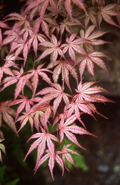 Acer palmatum 'Olsen's Frosted Strawberry'