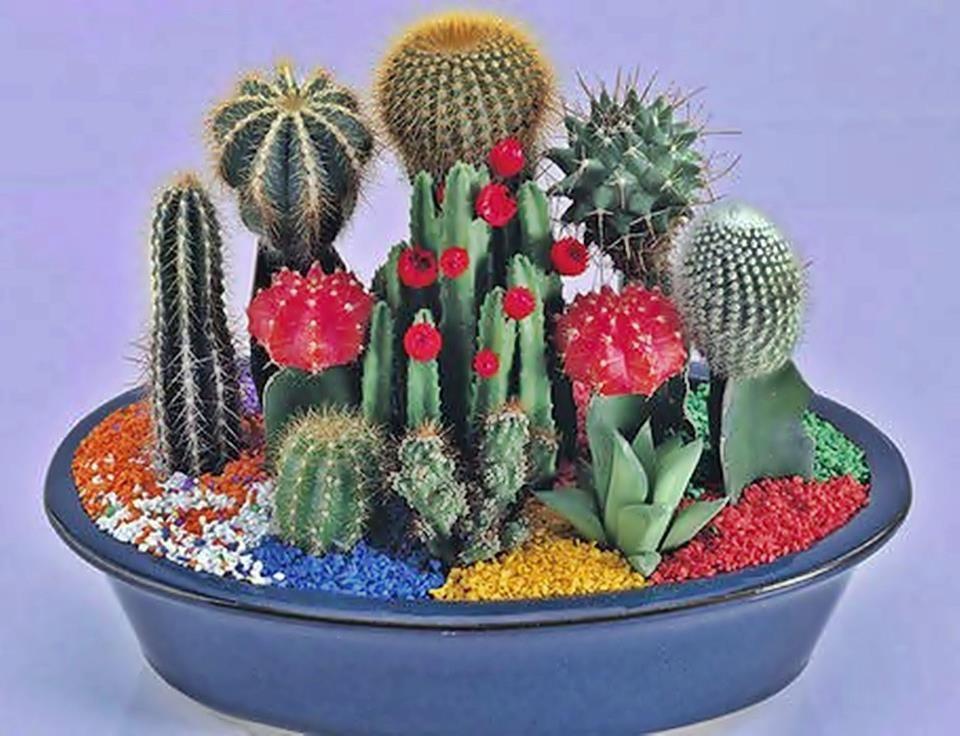 composiciones y bandejas de cactus composicion con injertos y