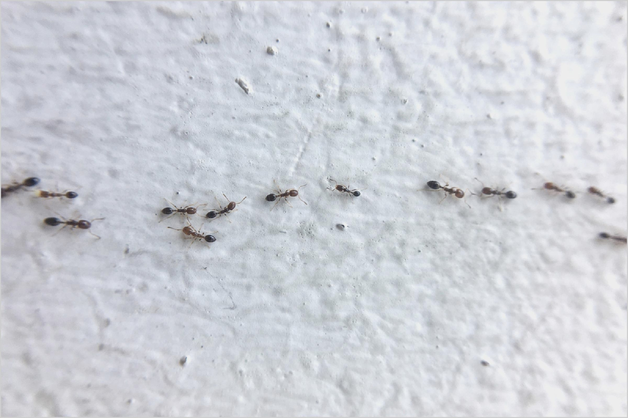 Very Small Ants In Bedroom | Tiny ants, Ants in house ...