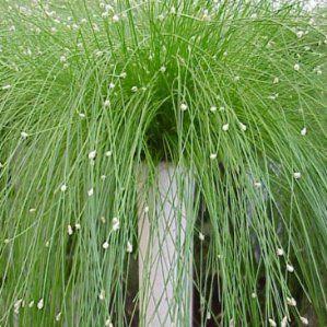 isolepis cernua nombre popular tipolog a planta vivaz de