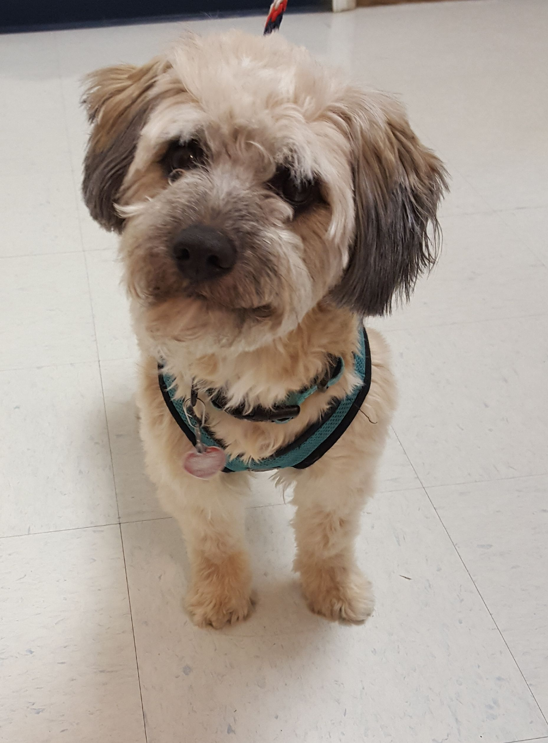 Poodle Miniature Dog For Adoption In Hollywood Md Adn 744954