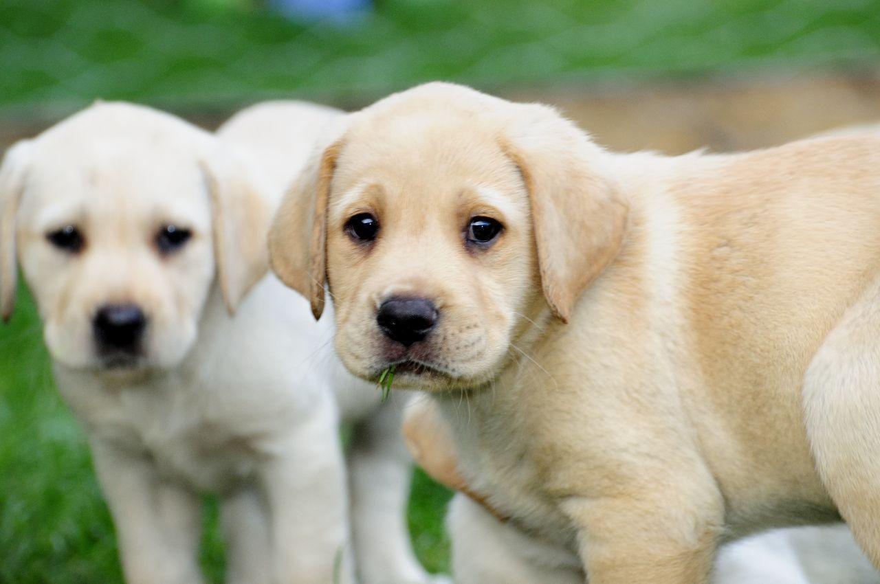 Yellow Labrador Kc Registered Yellow Labrador Puppies