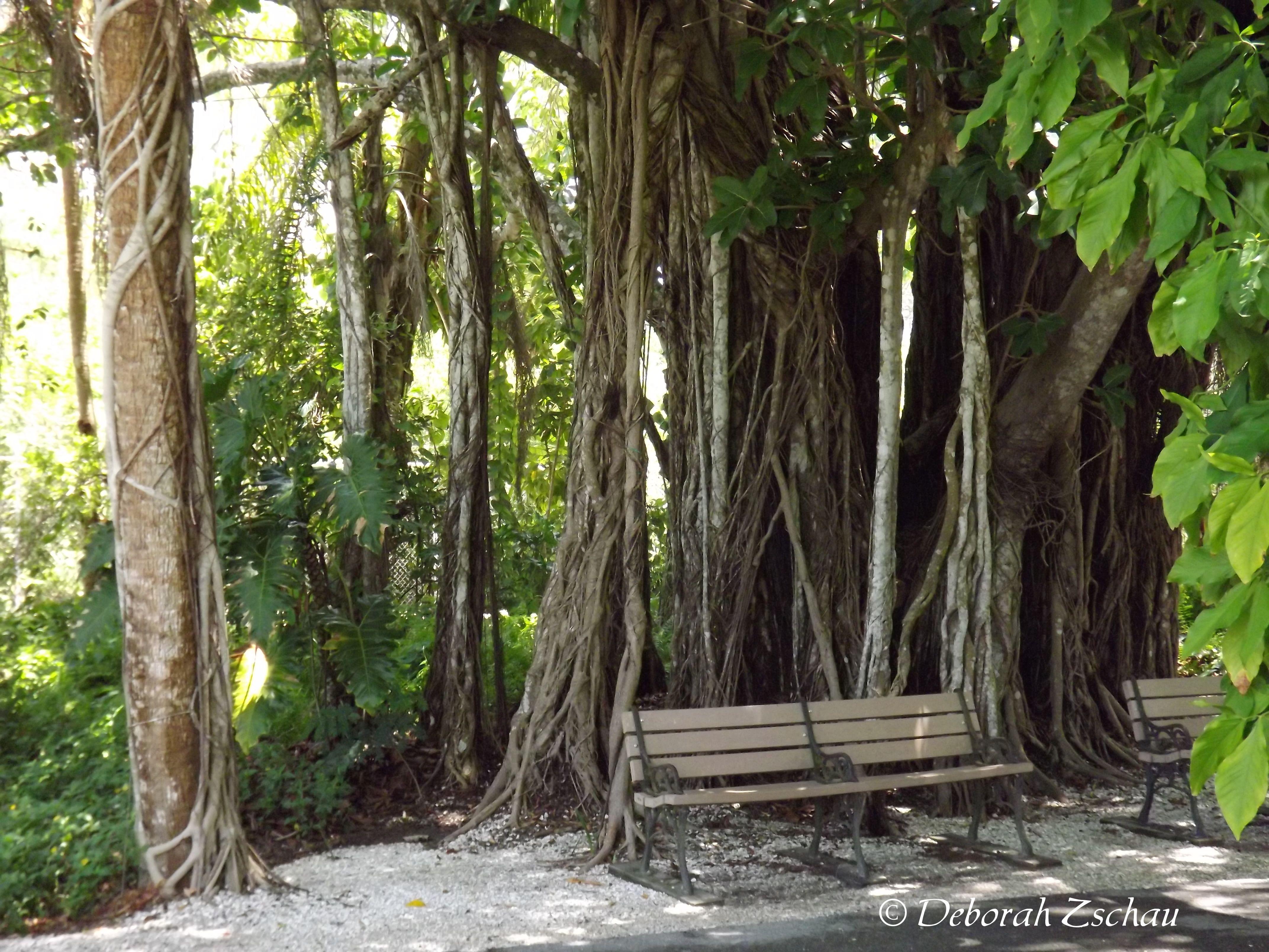 Banyon Tree at the Naples Zoo Photography Pinterest Banyon