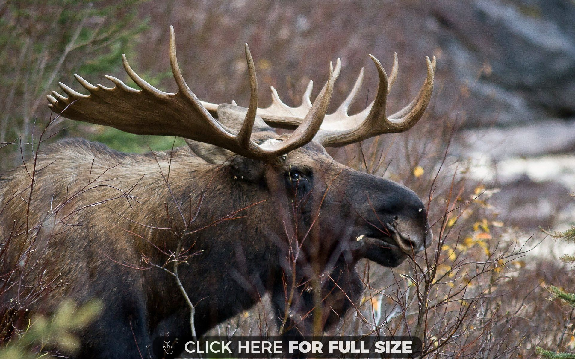 Moose Wallpaper Moose Pictures Moose Majestic Animals