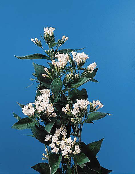 Bouvardia Bouvardia Flowers Name List Wholesale Flowers Flower Names
