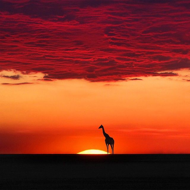 """Giraffe under the blood clouds at the sunset harmony, Africa 