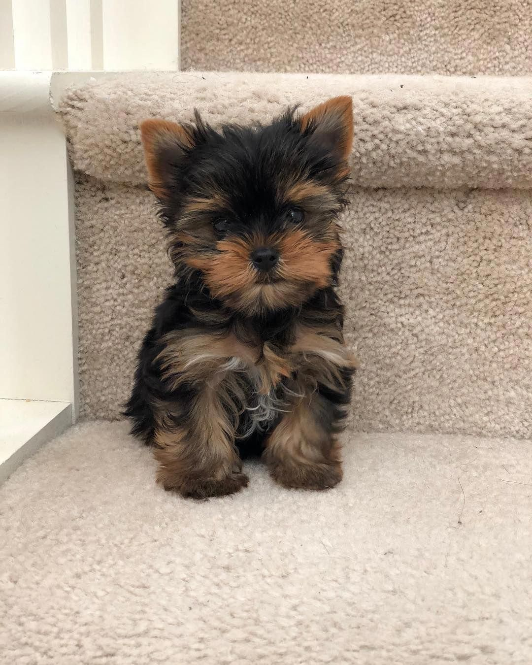 All The Things We All Love About The Affectionate Yorkshire Terrier Yorkshireterriersverige Yorkshire Yorkie Puppy Yorkshire Terrier Dog Teacup Yorkie Puppy