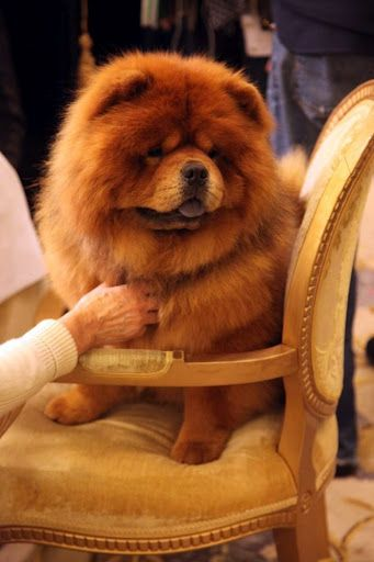 Pin On Chow Chow