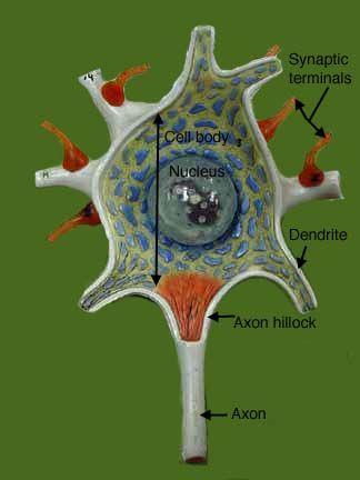 http://classroom.sdmesa.edu/anatomy/IMAGES/Nervous_label ...
