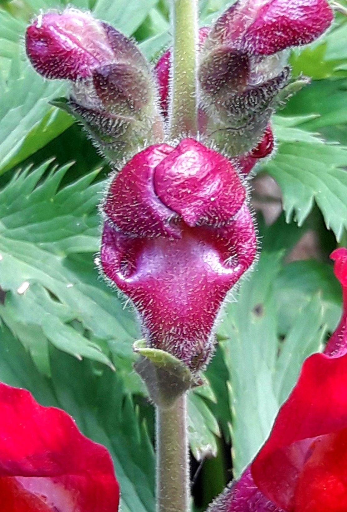 Lwia Paszcza Plants