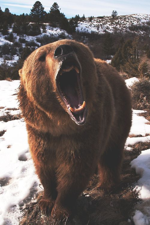 Designspiration — Design Inspiration Animal Kingdom, Angry Bear, Roaring  Bear, Grizzly Bears,