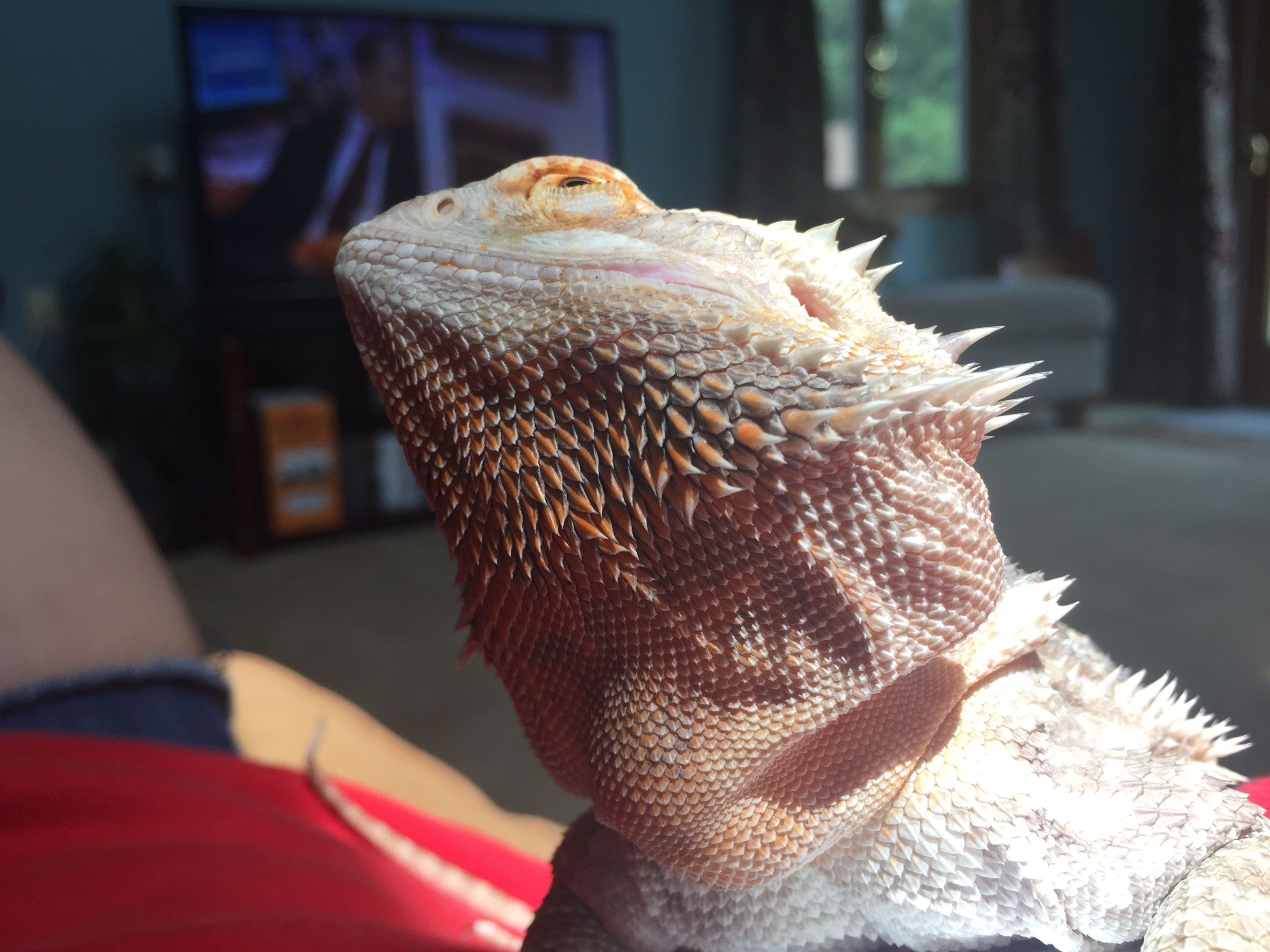 I Love When The Dragons Do This It S So Cute Bearded Dragon Bearded Dragon Care Bearded Dragon Diet
