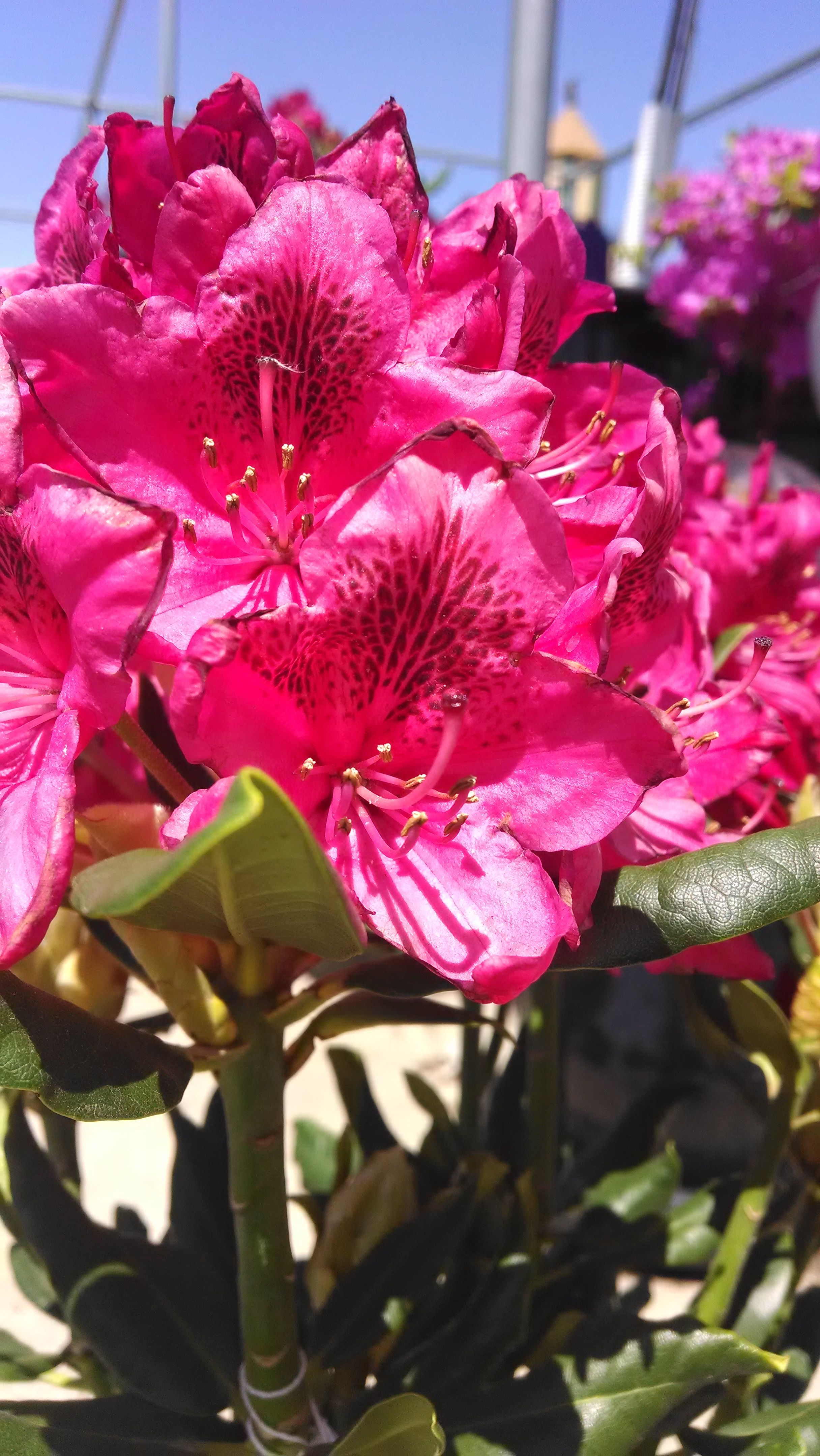 Bright pink rhododendron great for shade plant nursery