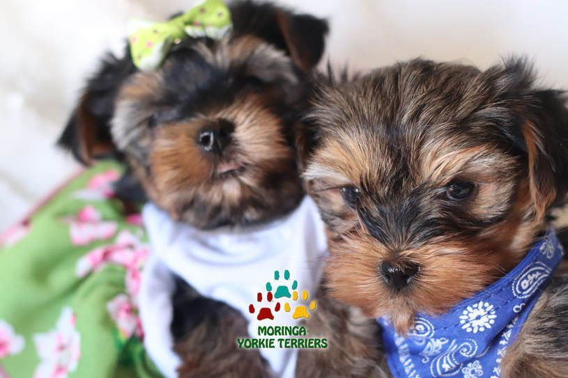 Quality Yorkie Puppies For Sale Adoption Yorkiepuppynearme Teacup Yorkie Puppy Yorkie Puppy Teacup Puppies