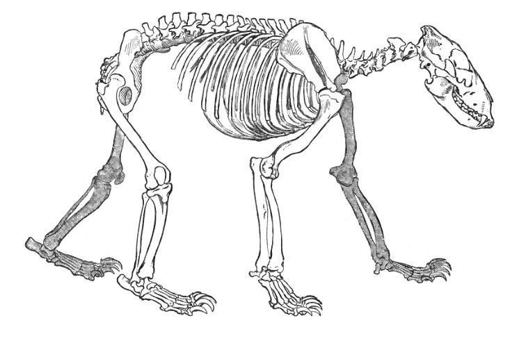 the skeleton of a bear date 1896 source the royal